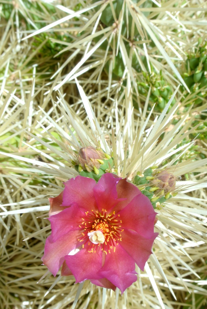 opuntia_flower2