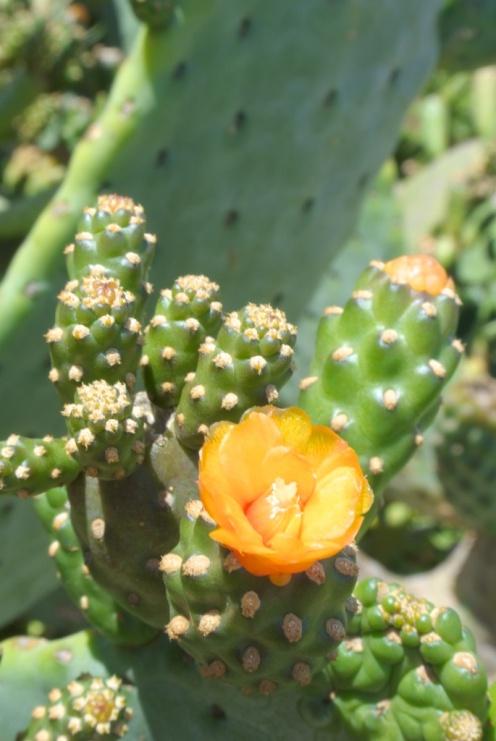 opuntia_flower3