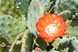 opuntia_flower4